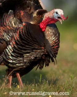 Russell Graves turkey