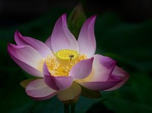 A_Bee & Lotus Flower