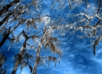 A_Spanish Moss Dancing in the Sky