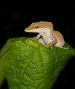 B_Little Lizard On Leaf