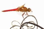 M_Dragonfly Vine